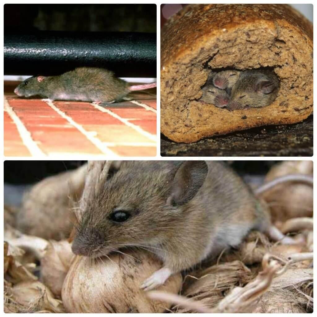 Вывести мышей в домашних условиях 142
