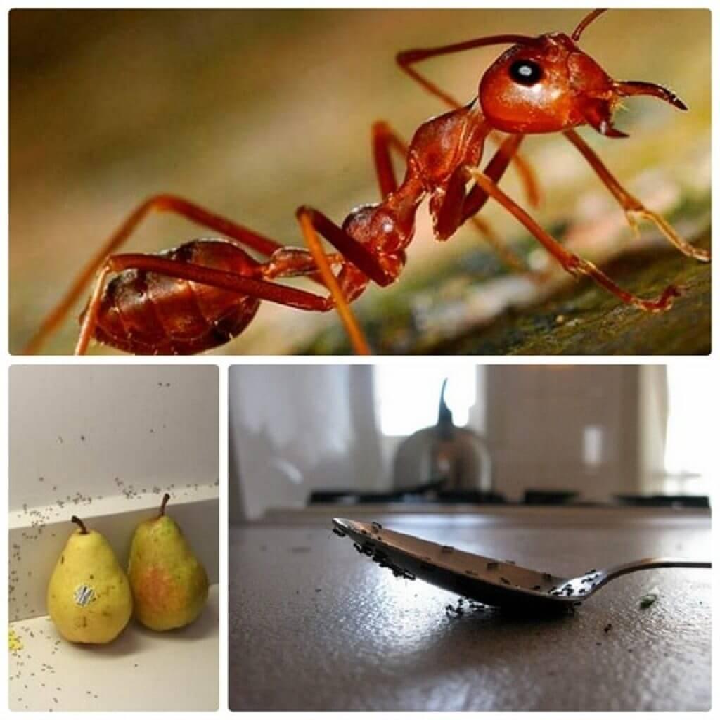 Как вывести муравьев из дома народными средствами