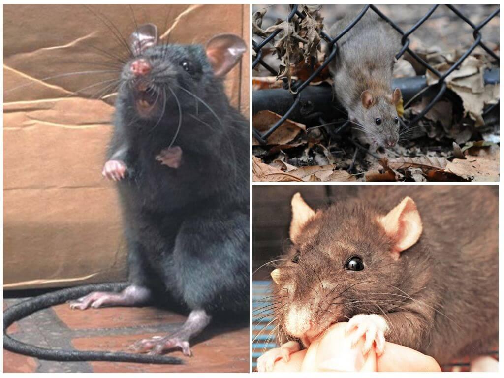 Как сделать чтобы крыса не кусалось