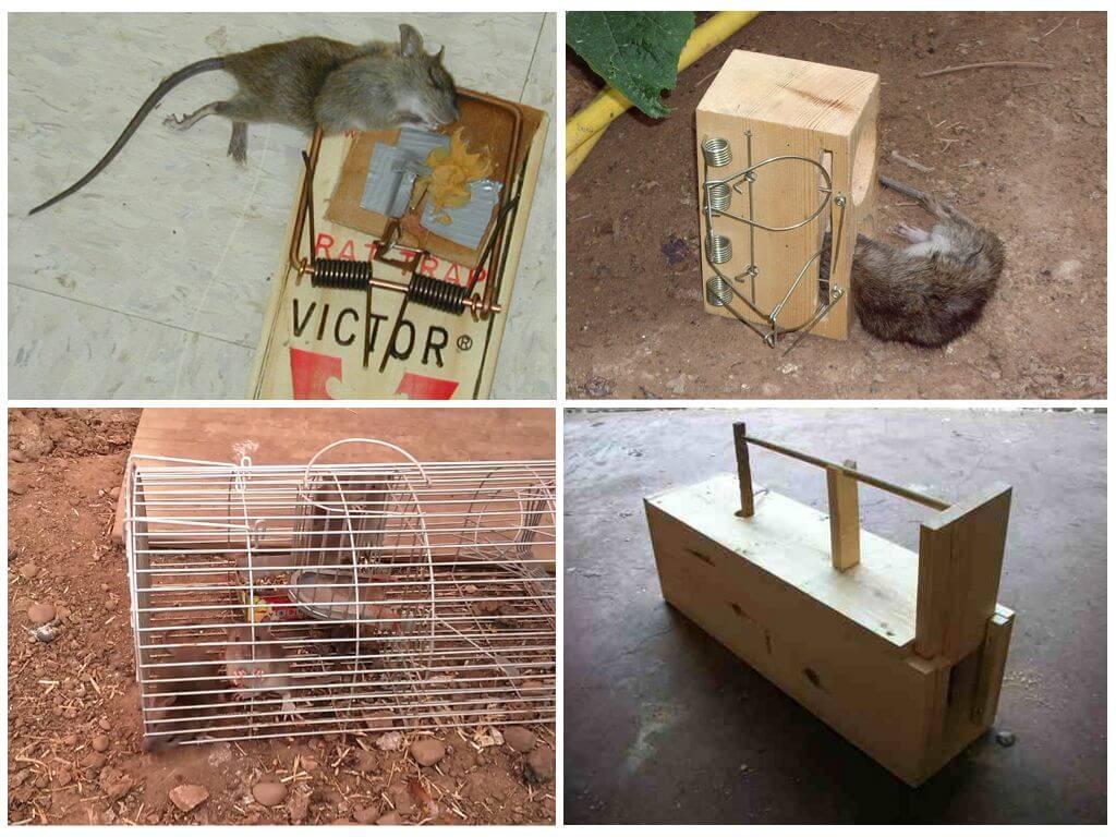 Как сделать ловушку для крысы 114