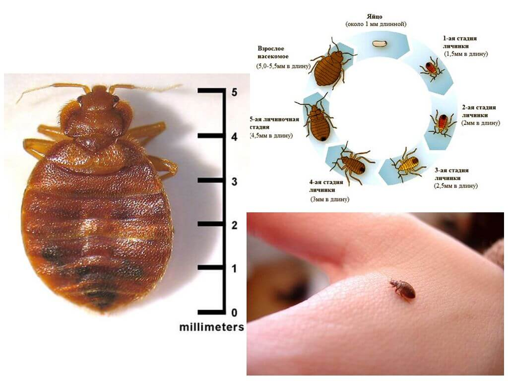 Bedbug size