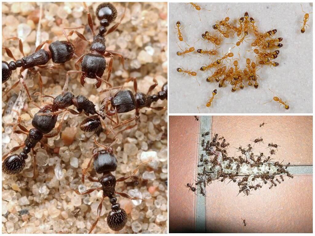 Как вывести муравьев из квартиры в домашних  640