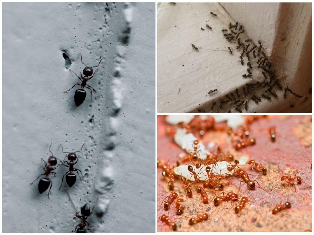 Чем вывести муравьёв в домашних условиях 162