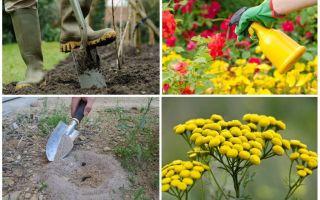 Как вывести муравьев с огорода