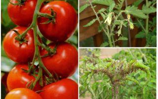Чем обработать тлю на помидоре в домашних условиях