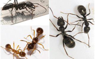 Сколько лап у муравья