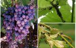Как бороться с тлей на винограде