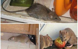 Как вывести из дома крыс