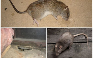 Сдохла крыса под полом, как избавиться от запаха?