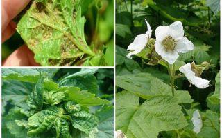 Как бороться с тлей на малине во время цветения и плодоношения