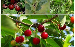 Как избавиться от тли на вишне и черешне