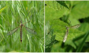 Описание комара-долгоножки