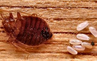 Как происходит процесс размножения клопов? Фото, видео, интересны особенности