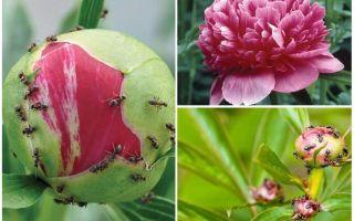 Как бороться с муравьями на пионах