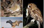 Одна сова уничтожает за лето примерно до 1000 полевых мышей