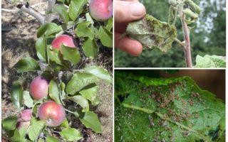 Как избавиться от тли на яблоне народными средствами