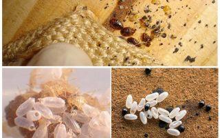 Как выглядят яйца постельных клопов и как их уничтожить