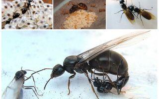 Размножение муравьев