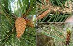 Как избавиться от тли на сосне и елке