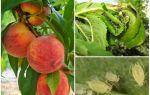 Как бороться с тлей на персике народными средствами