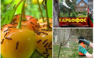 Как избавиться от муравьев на вишне