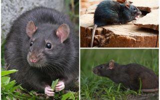 Черные крысы