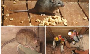 Как вывести крыс из подвала народными средствами