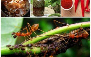 Как вывести муравьев с грядок