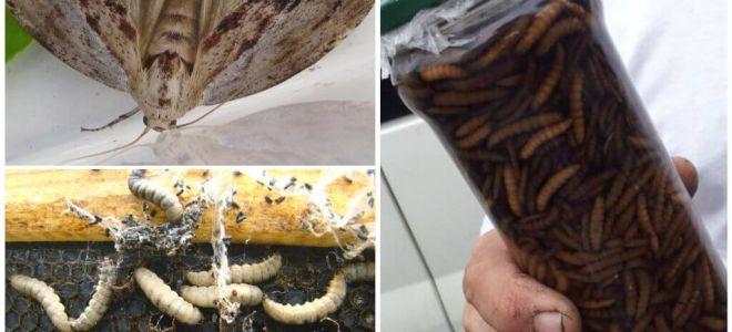 Инструкция по применению настойки личинок восковой моли