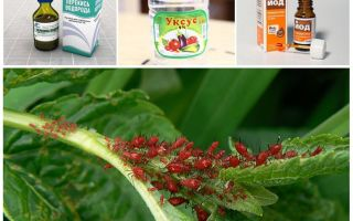 Как избавиться от тли на плодовых деревьях