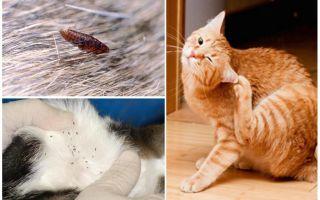 Описание и фото кошачьих блох