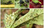 Откуда появляется тля на растениях