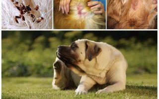 Собака чешется и грызет себя, но блох нет – чем лечить