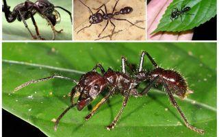 Самые опасные муравьи