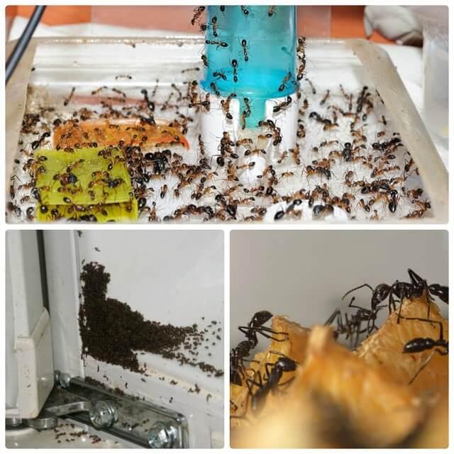 Как в короткие сроки избавиться от муравьев на кухне домашними методами?