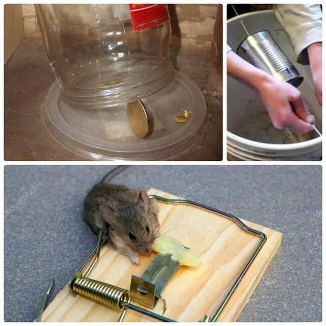 Образование сперматоцитов у самца домовой мыши прощения
