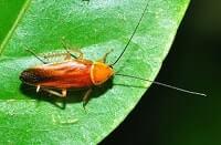 Рыжие тараканы во сне