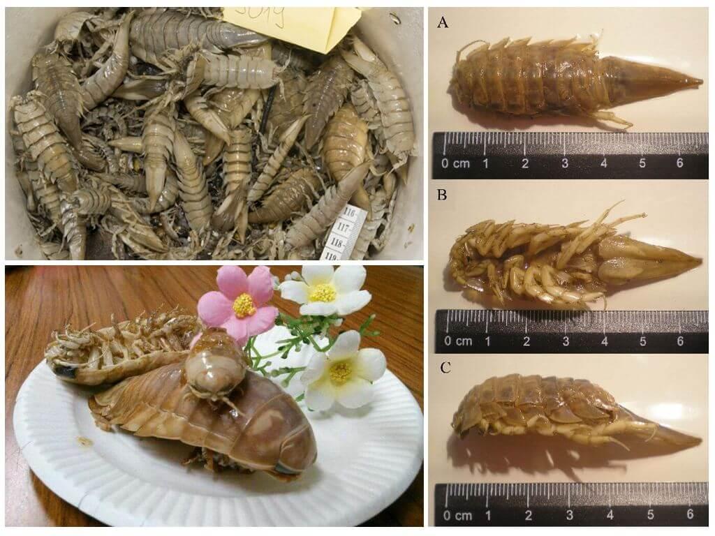 Блюда из морского таракана