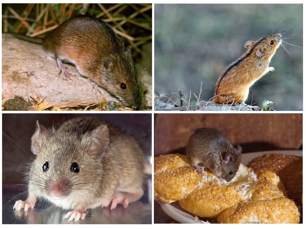 Домовая и полевая мышь