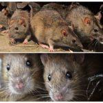 Мыши и крысы