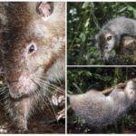 Шерстистая крыса Босави