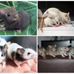 Маленькие крысята