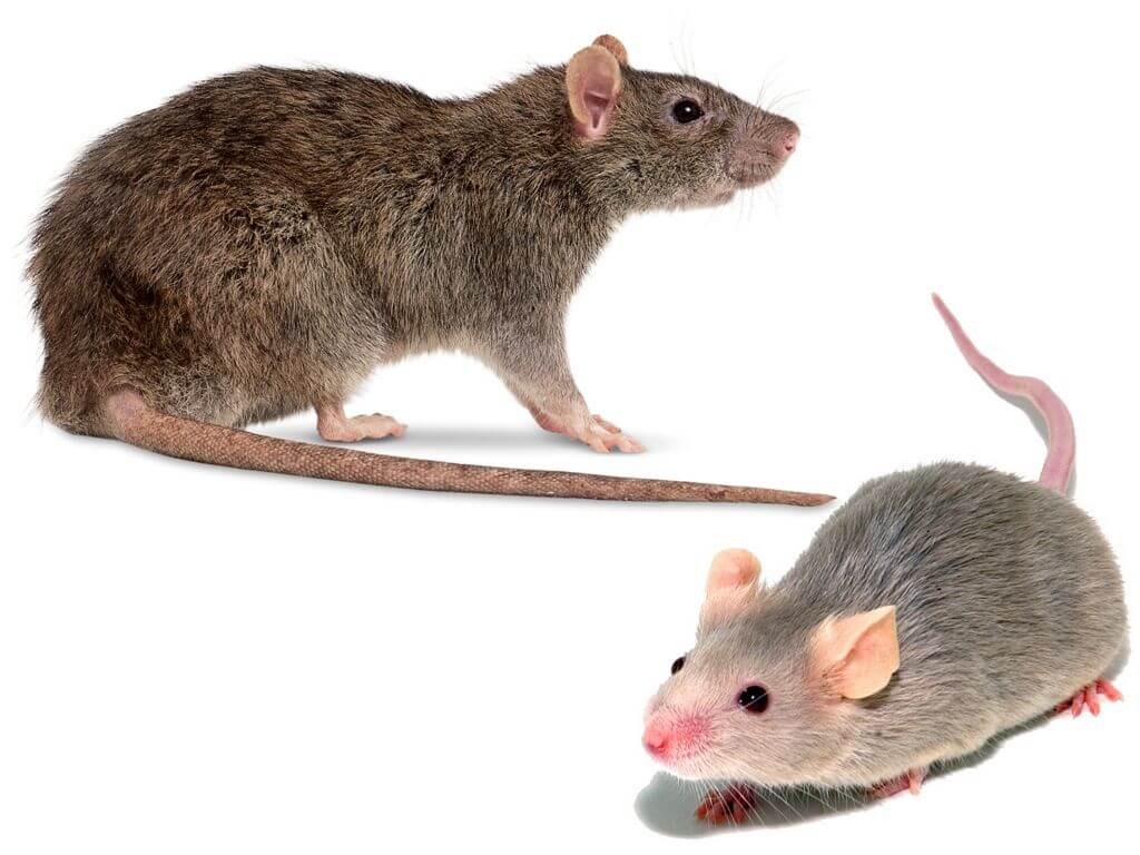 Отличие мыши от крысы