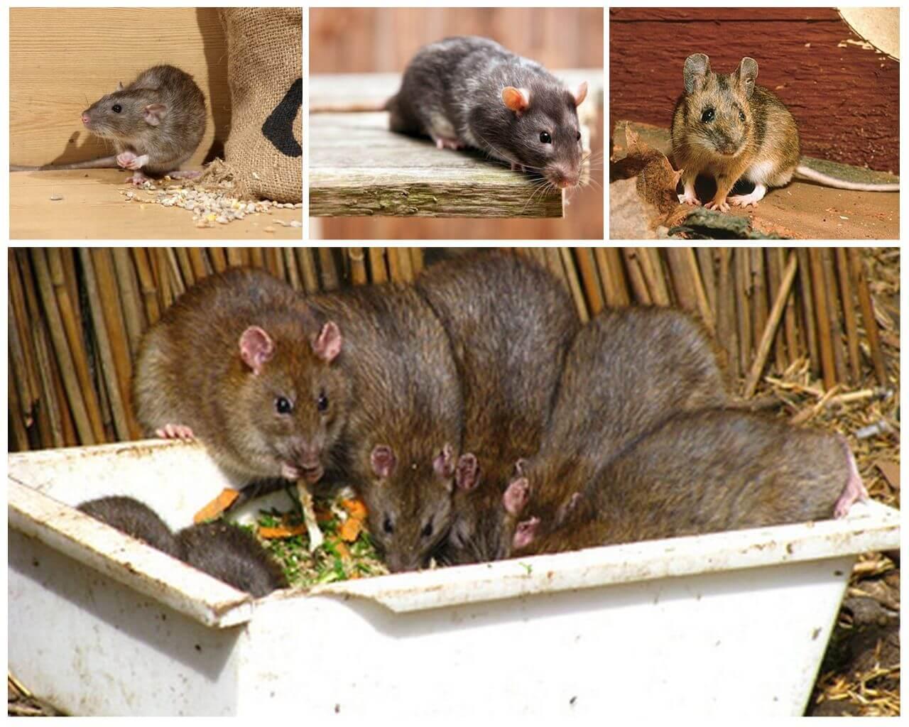 Чем отличается мышь от крысы