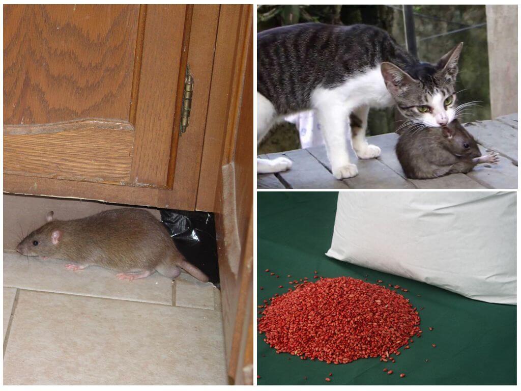 Борьба с крысами разными способами