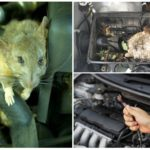Крыса в машине