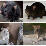 Черная и туркестанская крысы