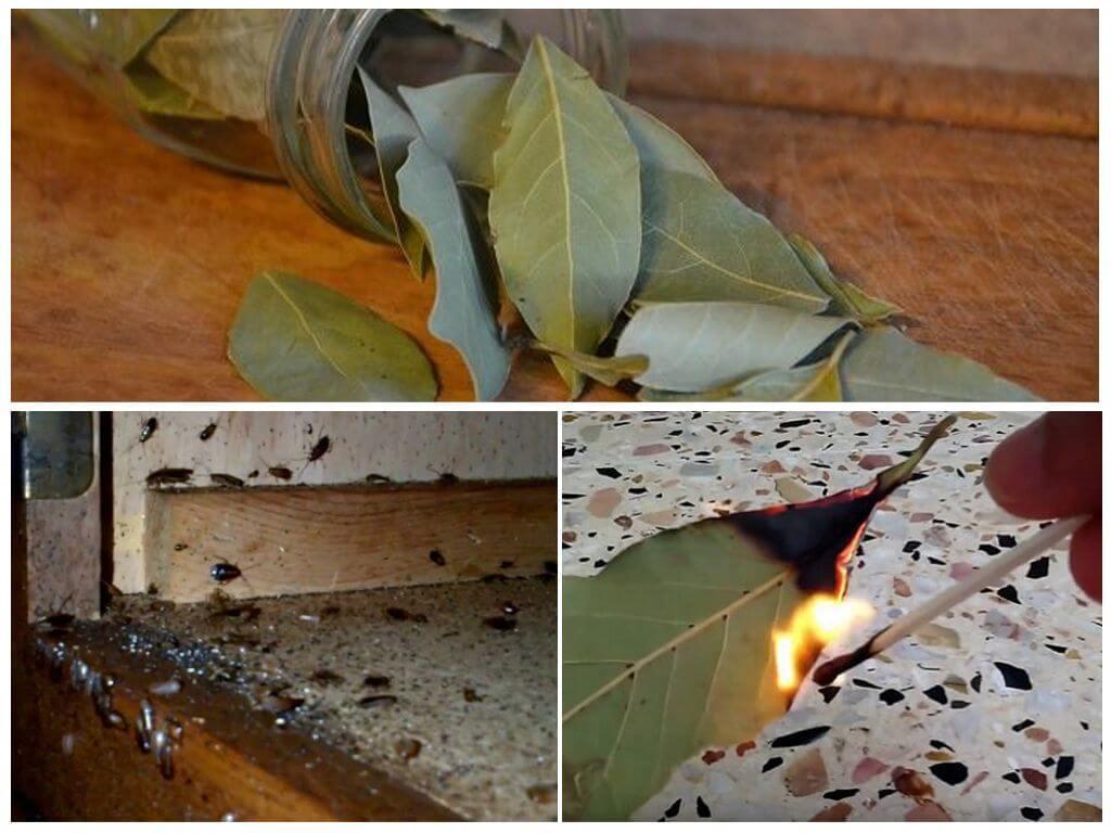 Использование лаврового листа от тараканов