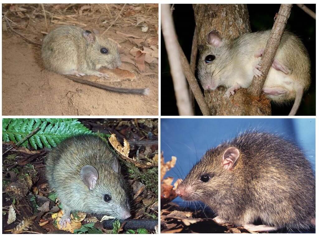 Чернохвостая и малая крысы