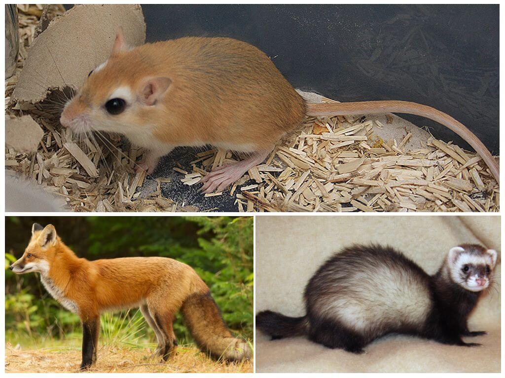 Хорьки и лисы питаются мышами